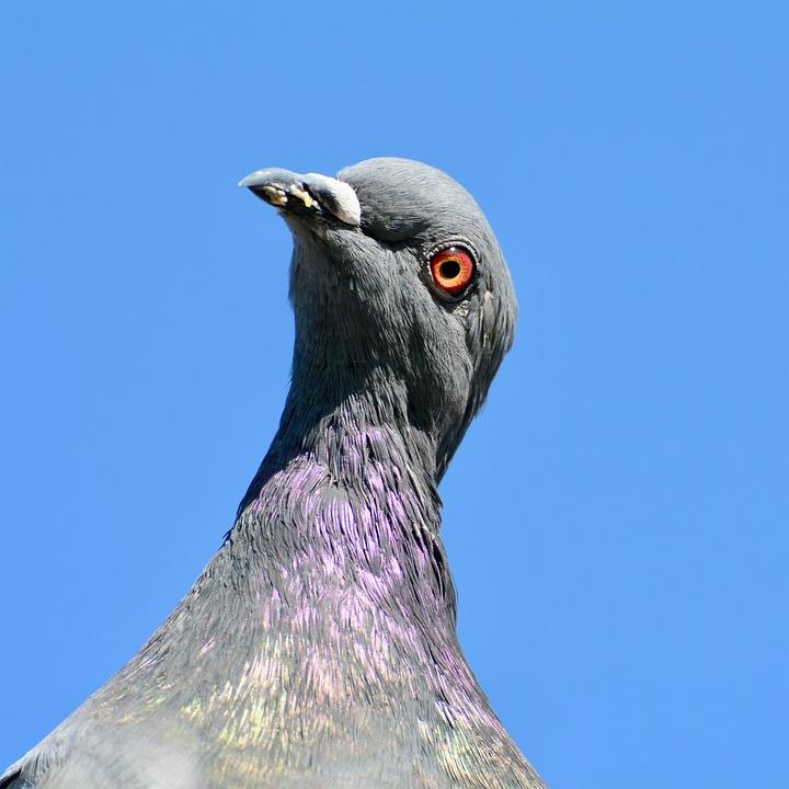 Prečo holuby vrtia hlavou dopredu a dozadu? Robia to nevedomky?