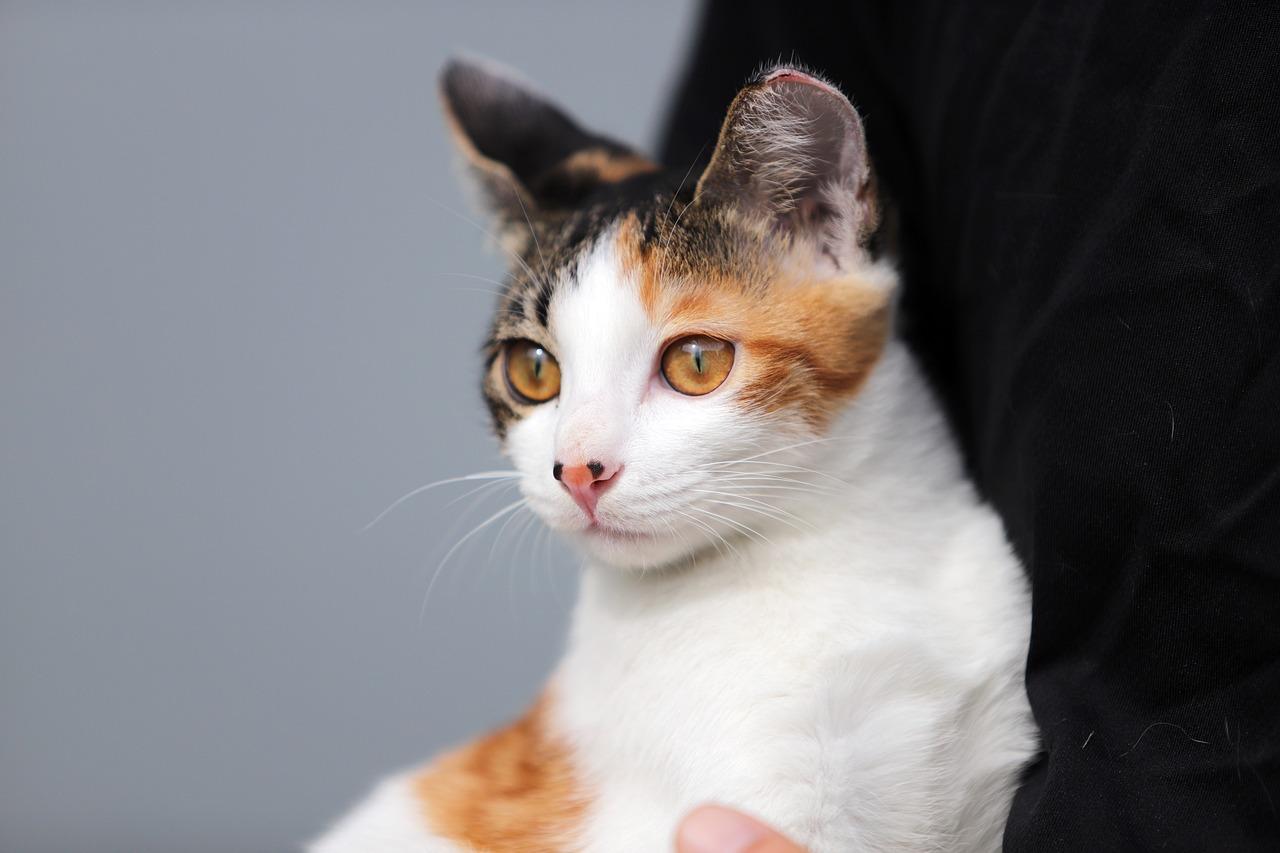 Ilustrasi kucing belang tiga alias calio cat