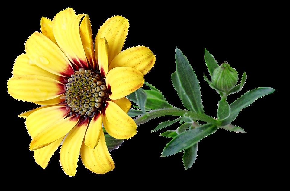Bunga Daisy Kuning Gambar Gratis Di Pixabay