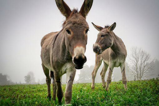 Donkey, Mule, Animals, Ass, Equine