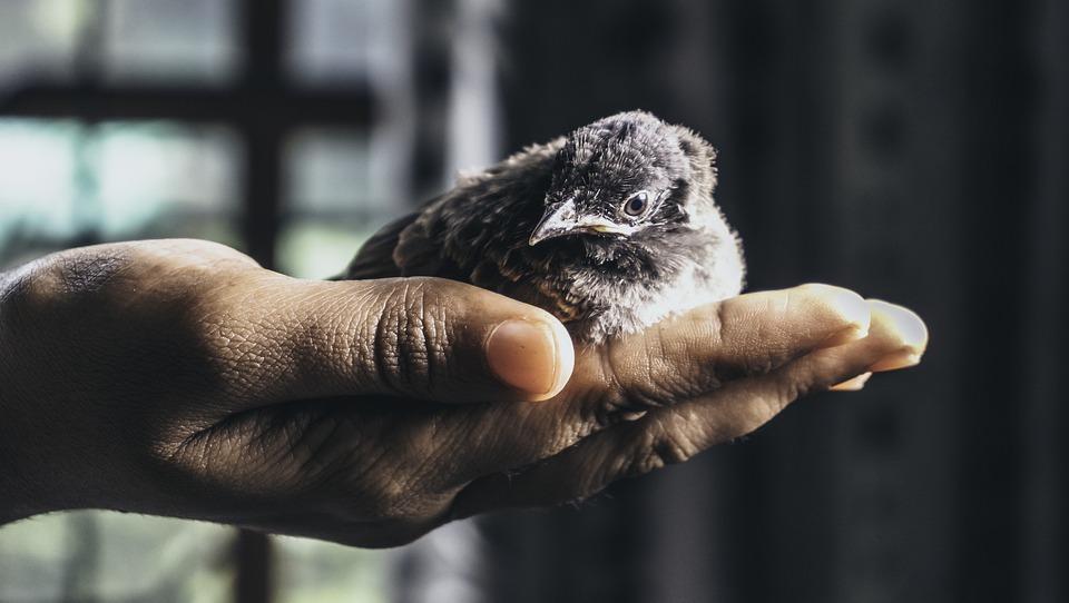 Птица, Новоизлюпено, Животните, Мацка, Бебе Птица