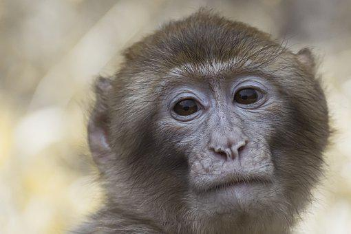 Barbary Ape, Macaque, Monkey, Animal