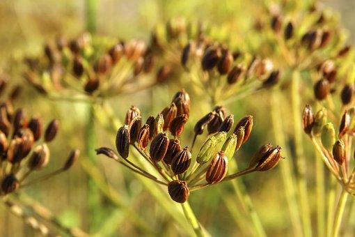 À L'Aneth, Graines, Plantes, Herbe