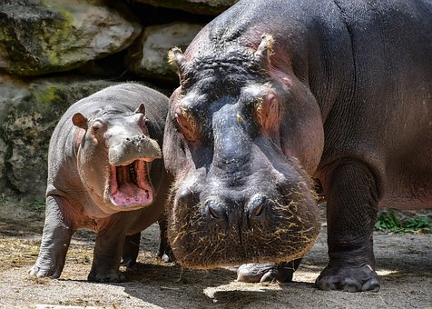 Hippopotamus, Hippo, Mother, Baby, Young