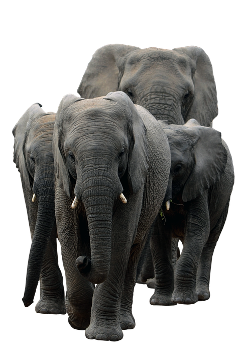Elephants Pachyderm Mammal Free Image On Pixabay British royal family family pine family iris family font family daisy family grass family. elephants pachyderm mammal free image