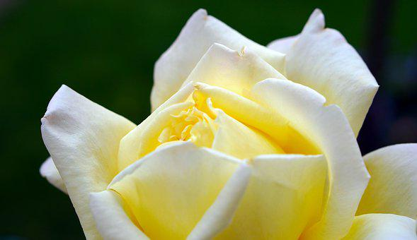 More Than 3 000 Yellow Rose Wallpapers Hd Pixabay
