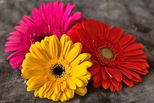 Daisies, Flowers, Still Life, Gerbera