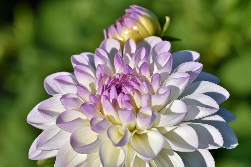 Dahlias, Fleurs, Pétales, Fleur, Plantes À Fleurs