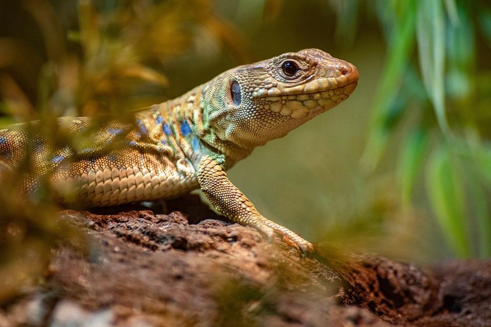 Hagedis, Reptielen, Geschubde, Dierlijke, Exotisch Dier