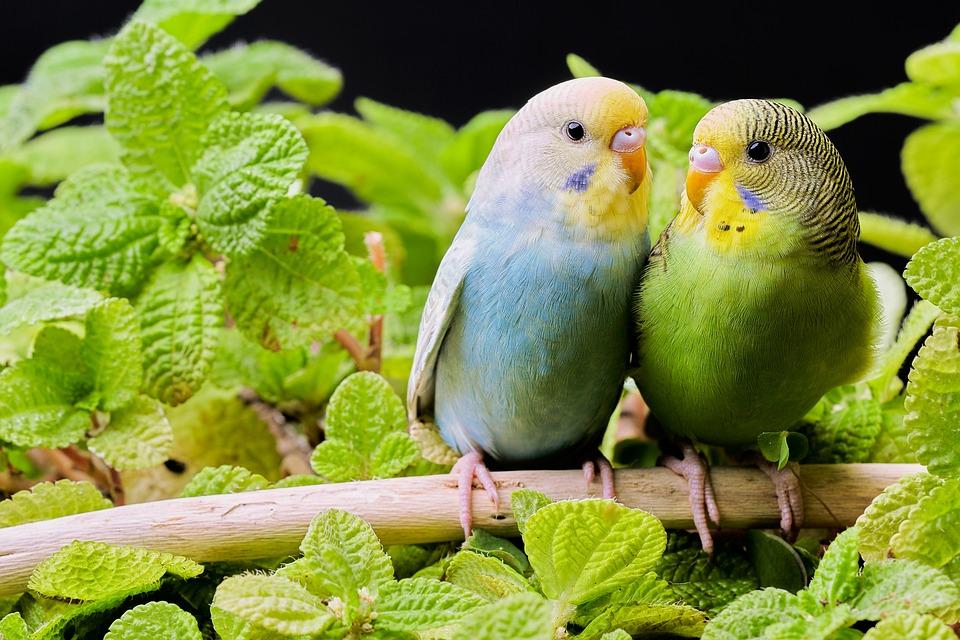 Parkieten, Vogels, Budgie, Branch, Bladeren, Loof, Paar