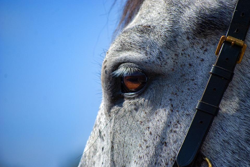 Horse, Gray, Eye, Gray Horse, Horse Eye, Equine