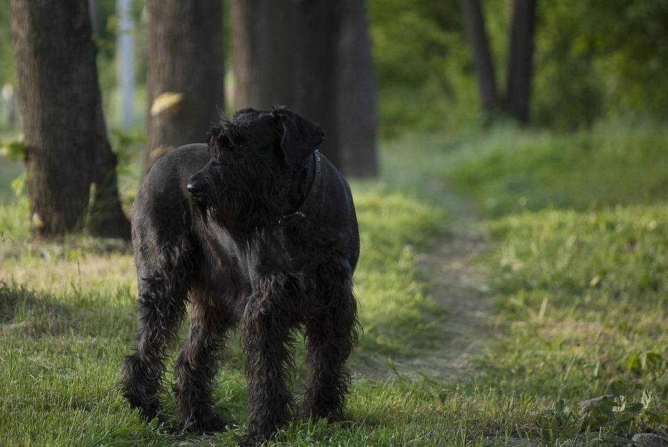Giant Schnauzer, Dog, Path, Walk, Forest