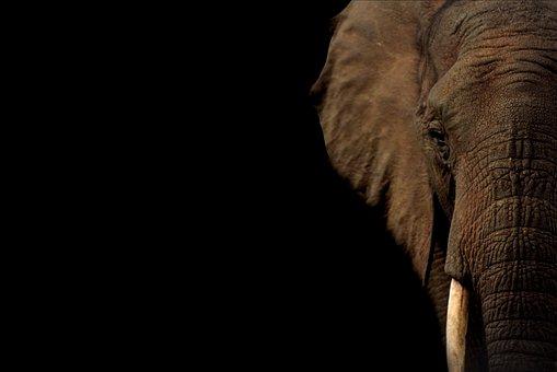 Elephant, Tusk, Trunk, Pachyderm