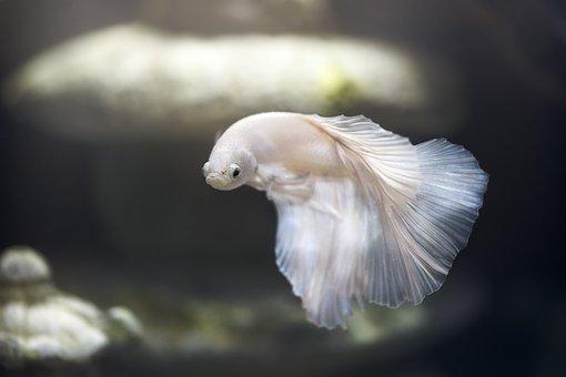 Aquarium, Fish, Pet, Betta