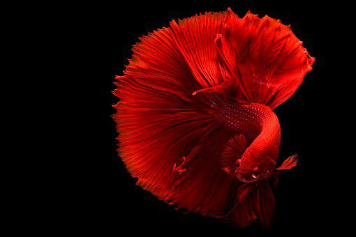 Color Pop, Fish, Tail, Red, Red Fish