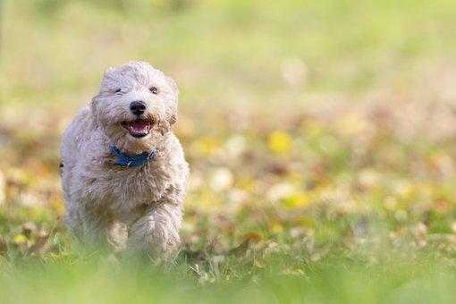 Dog, Puppy, Pet, Bichon Frise, Animal