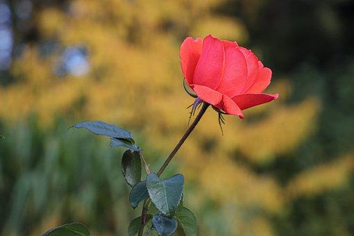 100 Gambar Batang Mawar Bunga Gratis Pixabay
