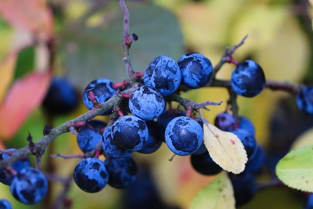 Berries Sloes Blackthorn