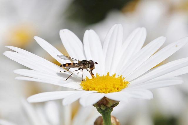 Hover Fly Melangyna Viridiceps