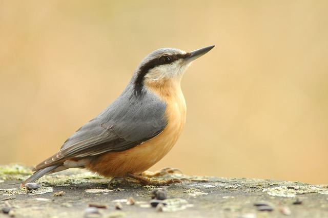 Eurasian Nuthatch Bird Small Bird