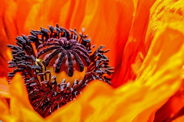 Poppy Flower Plant Orange Flower