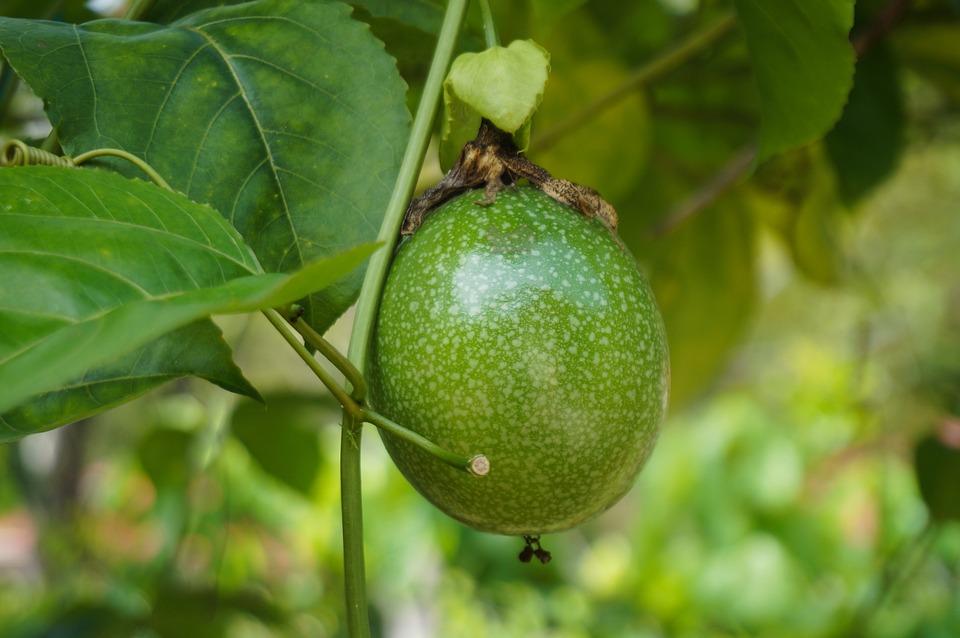 Fruta De La Pasión, Frutas, Planta, Vides