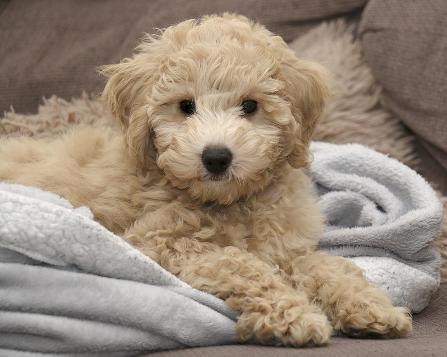 Dog, Pet, Animal, Bichon Frise, Domestic Dog, Canine