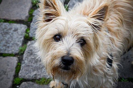 Over 40 gratis billeder  for Cairn Terrier og Hund - Pixabay