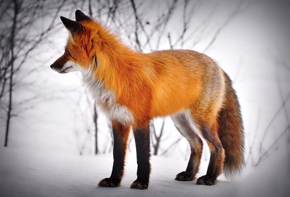 Fox, Tier, Schnee, Rotfuchs, Säugetier, Wildes Tier