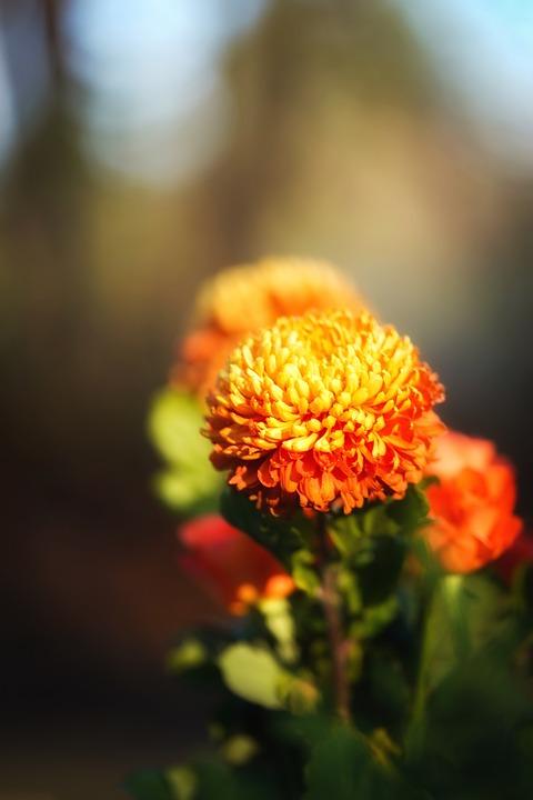 菊, 花, 植物, ブルーム, 観賞用植物, 自然, 庭, クローズアップ