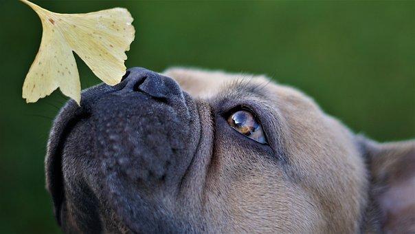 フレンチ・ブルドッグ, 犬, 鼻, 毒味役, スニッフィング, イチョウの葉