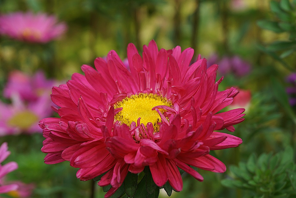 Perennial Asters, Marcinki, Flower, The Petals, Aster