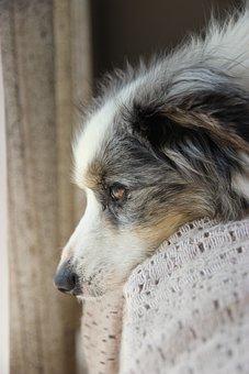 Miniature American Shepherd, Dog, Pet