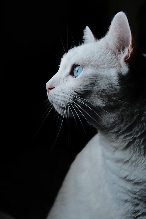 Mascota Gato Retrato Perfil Gato Blanco
