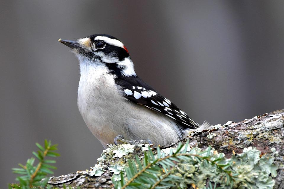 Downy Woodpecker, Woodpecker, Bird, Beak, Feathers