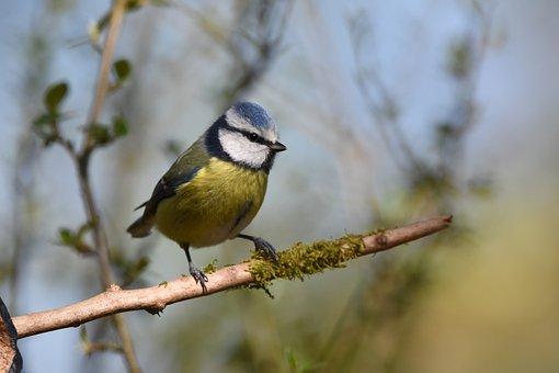 300 Gambar Burung Gelatik Biru Burung Gratis Pixabay