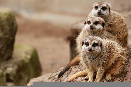 Meerkats, Furry, Mammal, Family, Zoo