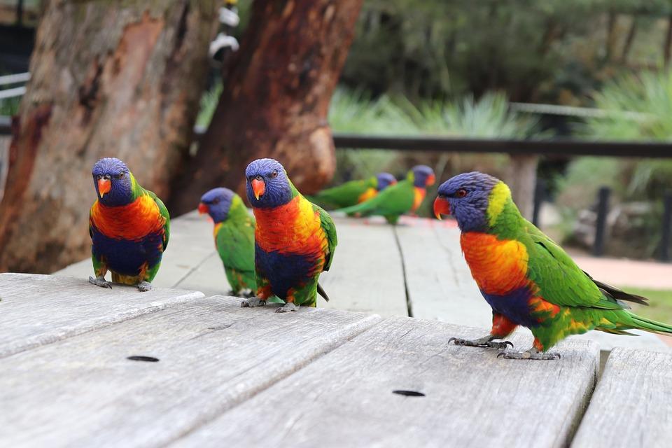 Pelangi Lorikeets Burung Kebun Foto Gratis Di Pixabay
