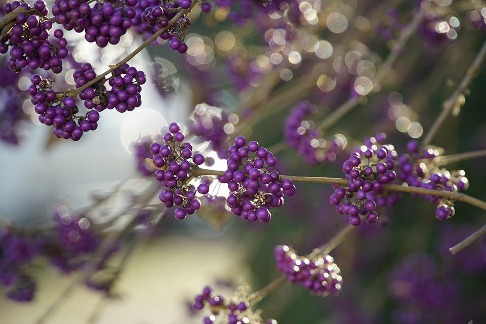 Beautyberry, Fruits, Branches, Callicarpa