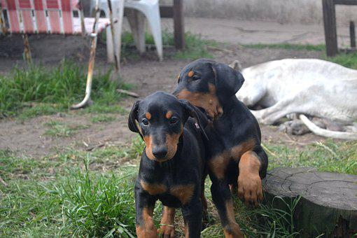 Doberman Puppies For Sale in Arizona, AZ