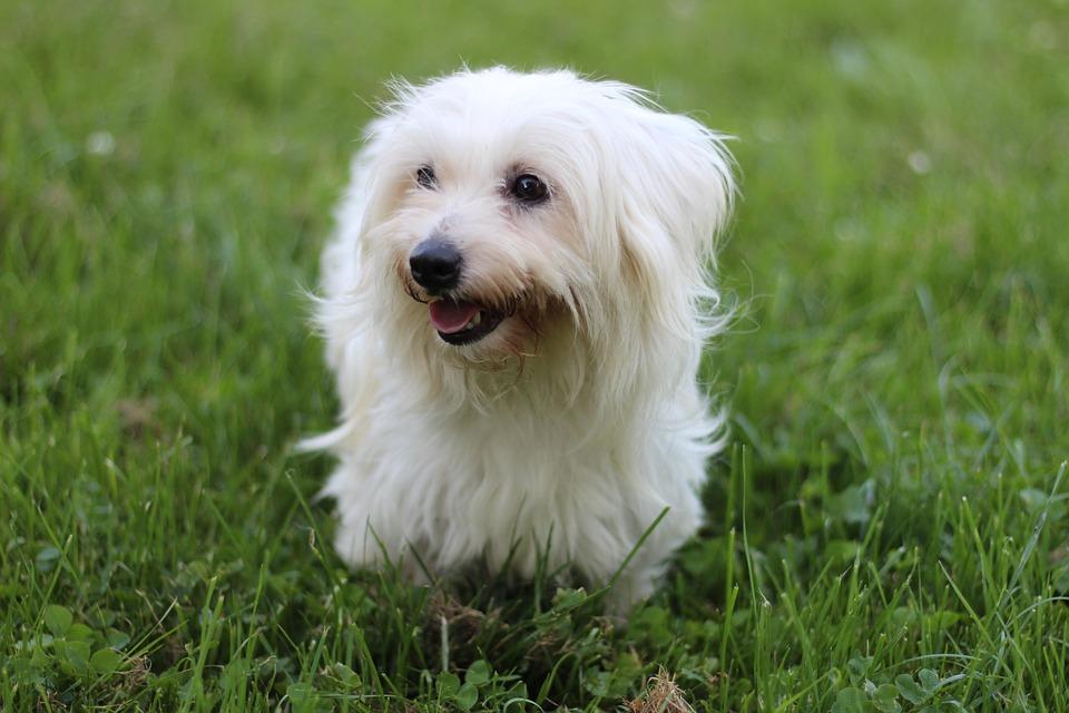 Coton De Tulear, Dog, Field, Pet, Animal, White Dog