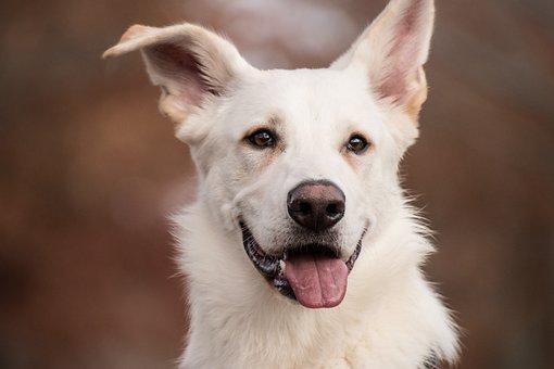 Schäfer Dog, White Dog, Dog, Mammal
