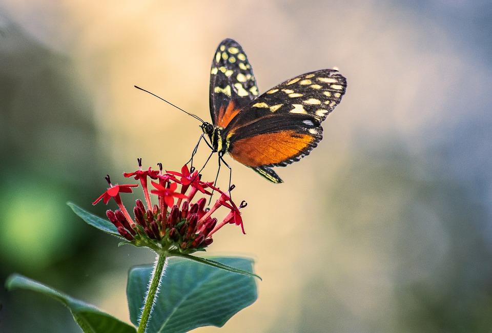 Farfalla, Insetto, Ali, Antenne, Fiori, Petali, Flora
