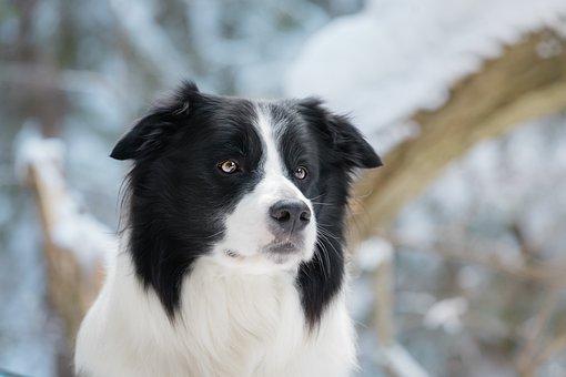Dog, Border Collie, Collie, Canine, Pet
