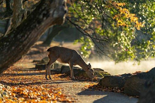 사슴, 나라 공원, 포유 동물, 가을, 일본, 단풍, 풍, 야생 동물