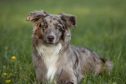 Australian Shepherd Training