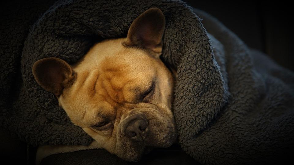 French Bulldog, Sleep, Blanket, Dog, Cozy, Pet, Animal