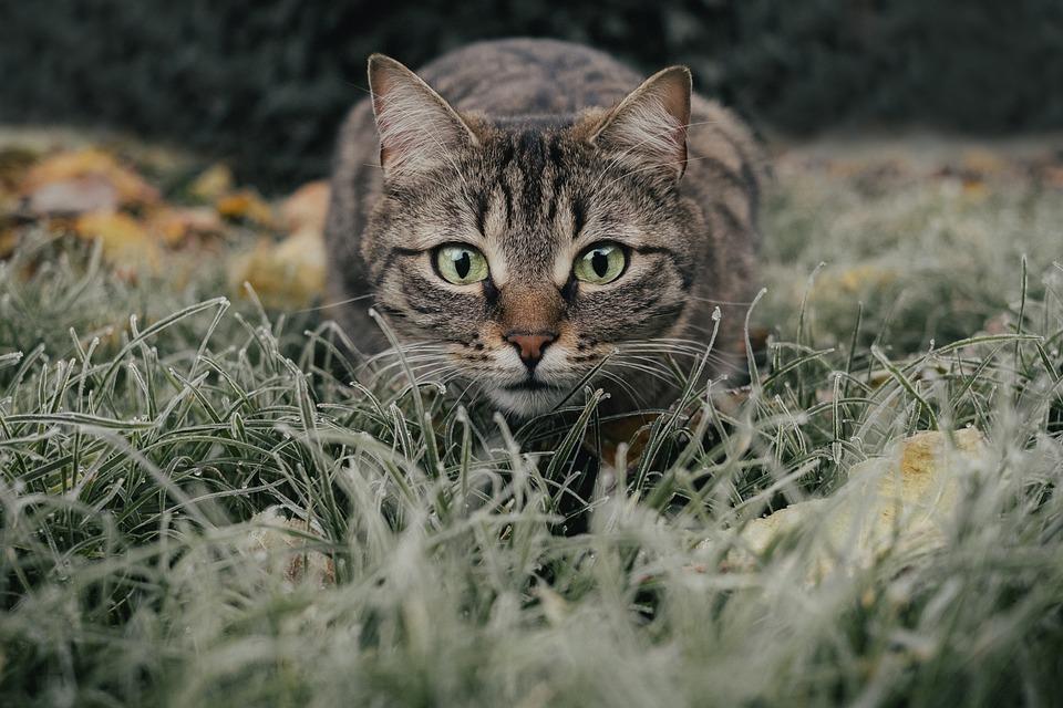 猫, 虎猫, フィールド, ペット, 動物, 国内の猫, ネコ, 哺乳動物, かわいい, 牧草地, 草