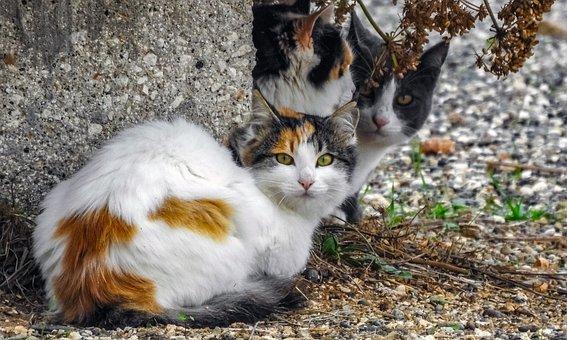 Kucing, Kucing Liar, Hewan