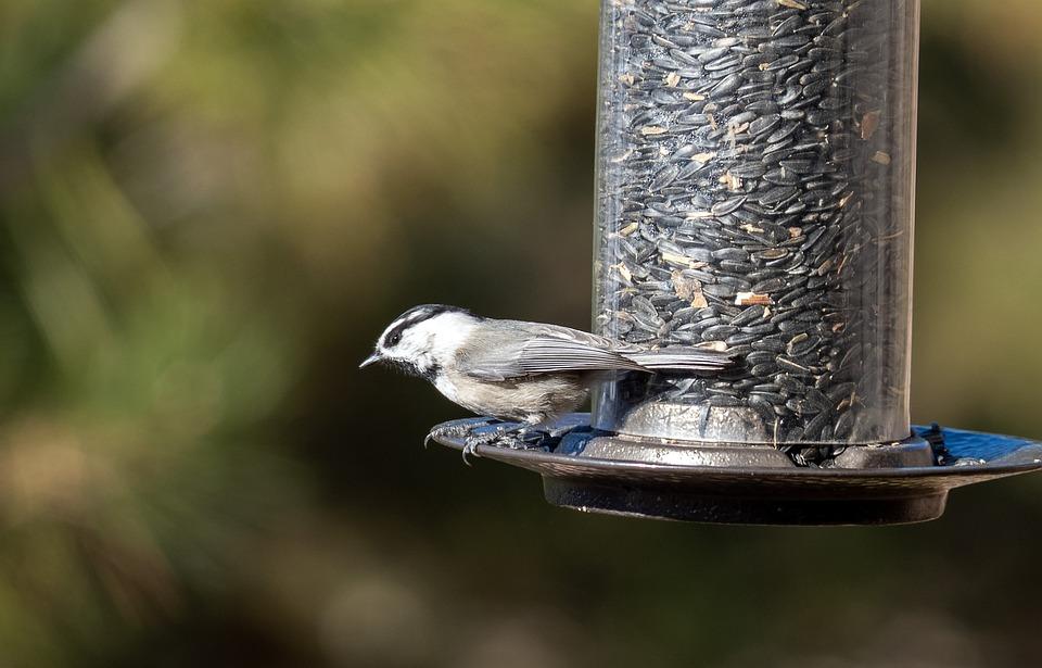 Chickadee, Mountain Chickadee, Bird, Bird Feeder